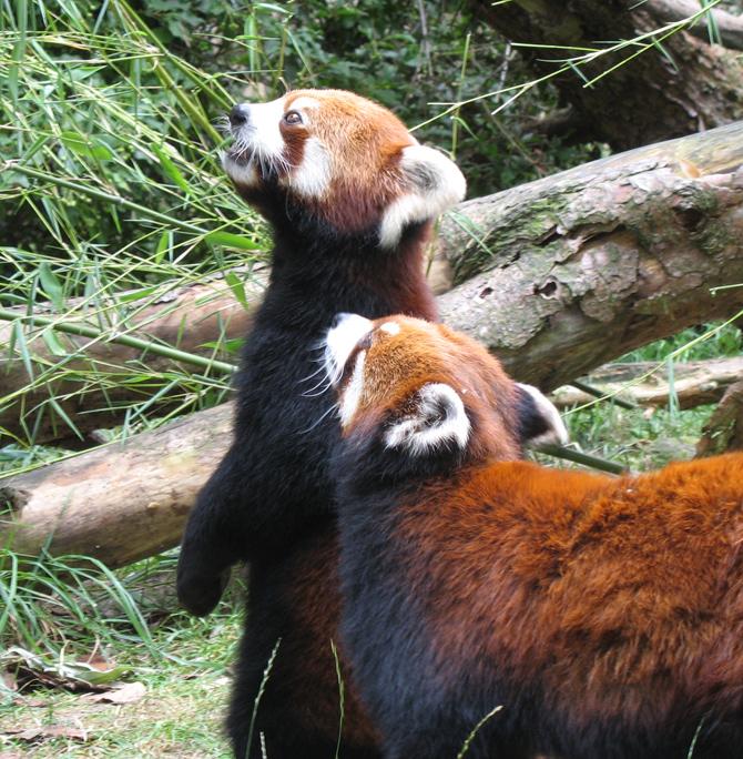 red_pandas.jpg